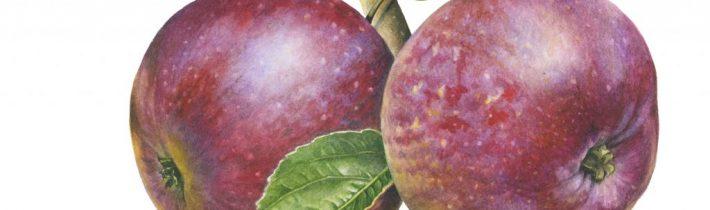 Cider Jablká – Kingston Black