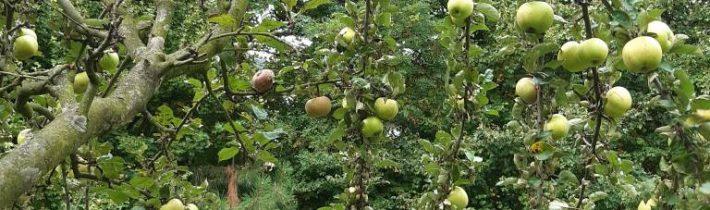 Jablká pripravené na oberanie